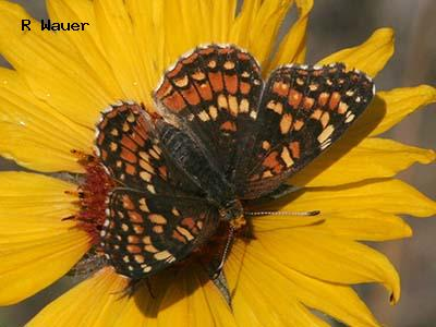 Northern Checkerspot<br /> © Roland H. Wauer