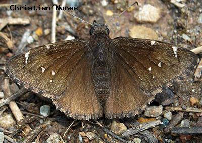 Northern Cloudywing<br />© Christian Nunes<br />Fowler Trail<br />Boulder County