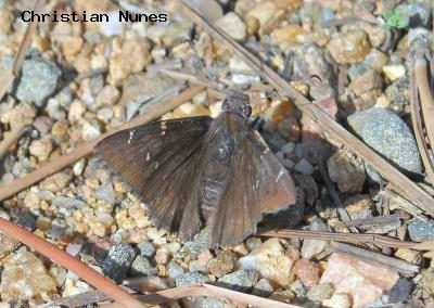 Northern Cloudywing<br />© Christian Nunes