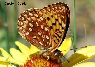 Northwestern Fritillary<br />© Catherine Cook<br />Boulder County