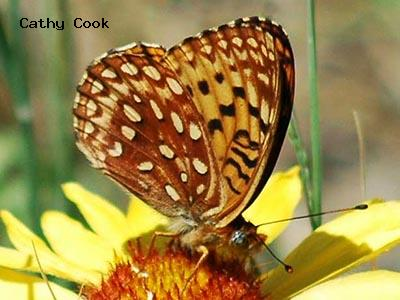Northwestern Fritillary<br /> © Catherine Cook<br /> Boulder County