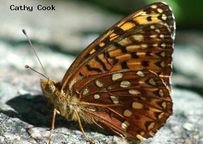 Northwestern Fritillary<br />© Catherine Cook<br />Anne U. White Trail<br />Boulder County