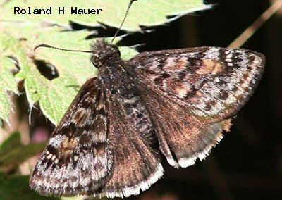 Pacuvius Duskywing<br />© Roland H. Wauer