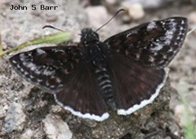 Pacuvius Duskywing<br />© John S. Barr<br />Cal-Wood Education Center<br />Boulder County