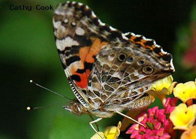 Painted Lady<br />© Catherine Cook<br />Lyons<br />Boulder County