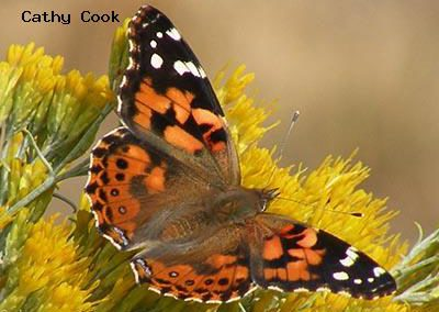 Painted Lady<br />© Catherine Cook<br />Boulder County