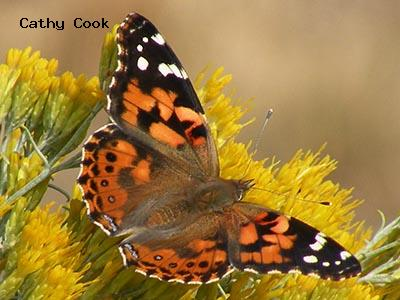 Painted Lady<br /> © Cathy Cook<br /> Boulder County