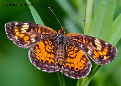 Pearl Crescent<br />© John S. Barr<br />Long Canyon Trail<br />Boulder County