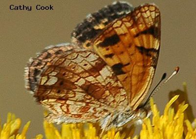 Pearl Crescent<br />© Catherine Cook<br />Boulder County