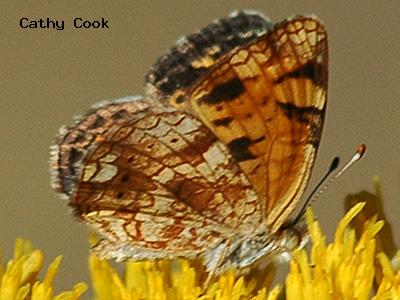 Pearl Crescent<br /> © Cathy Cook<br /> Boulder County