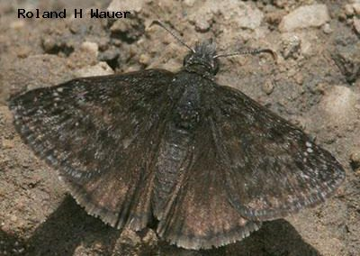 Persius Duskywing<br />© Roland H. Wauer