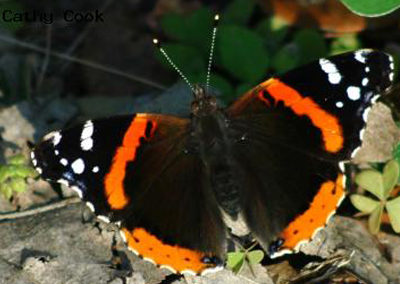 Red Admiral<br />© Catherine Cook<br />Boulder County