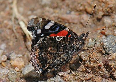 Red Admiral<br />© Catherine Cook<br />Anne U. White Trail<br />Boulder County