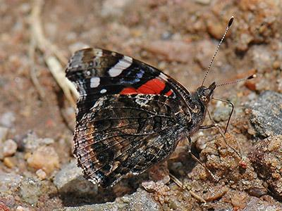 Red Admiral<br /> © Catherine Cook<br /> Boulder County