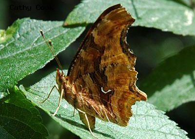 Satyr Comma<br />© Catherine Cook<br />Boulder Creek Trail<br />Boulder County