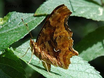 Satyr Comma<br /> © Catherine Cook<br /> Boulder Creek Trail<br /> Boulder County