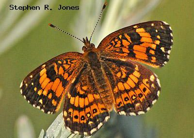 Silvery Checkerspot<br />© Stephen R. Jones