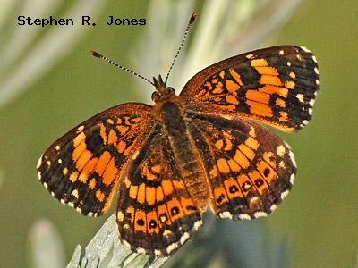 Silvery Checkerspot<br /> © Stephen R. Jones