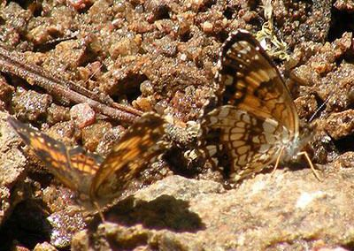 Silvery Checkerspot<br />© Catherine Cook<br />Allenspark<br />Boulder County