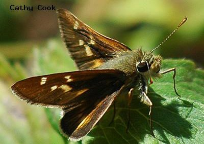 Snow's Skipper<br />© Catherine Cook<br />Coulson Gulch<br />Boulder County