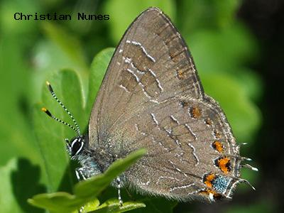 Striped Hairstreak<br /> © Christian Nunes<br /> Goshawk Ridge Trail<br /> Boulder County