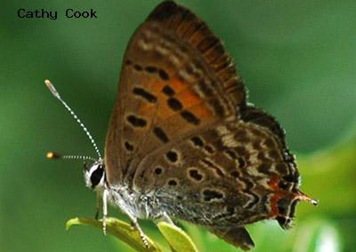 Tailed Copper<br />© Catherine Cook<br />Roxborough State Park<br />Jefferson County