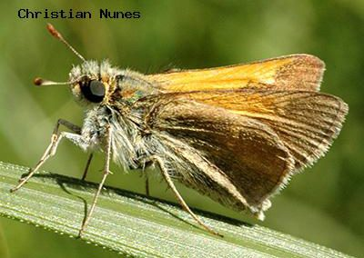 Tawny-Edged Skipper<br />© Christian Nunes<br />Rolling Rock Ranch Trail<br />Boulder County