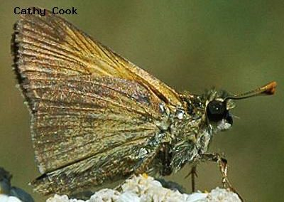 Tawny-Edged Skipper<br />© Catherine Cook<br />Golden Gate State Park<br />Jefferson County