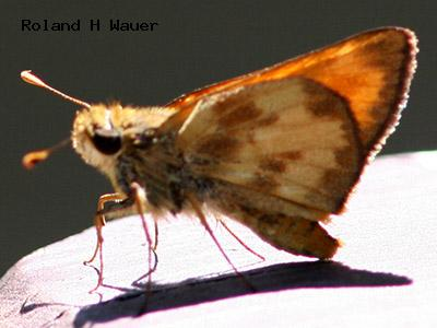 Taxiles Skipper<br />© Roland H. Wauer<br />Male