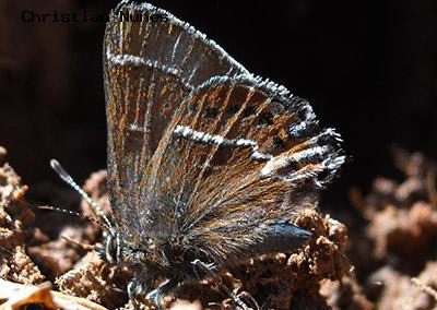Thicket Hairstreak<br />© Christian Nunes<br />Fowler Trail<br />Boulder County
