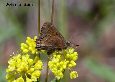 Thicket Hairstreak<br />© John S. Barr<br />Reynolds Ranch<br />Boulder County