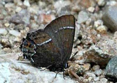 Thicket Hairstreak<br />© Catherine Cook<br />Caribou Ranch<br />Boulder County
