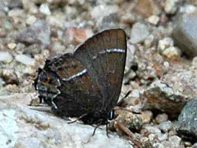 Thicket Hairstreak<br /> © Catherine Cook<br /> Caribou Ranch<br /> Boulder County