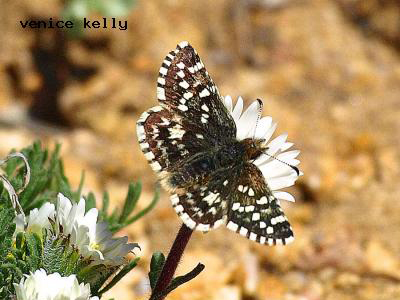 Two-Banded Checkered Skipper<br />© Venice Kelly