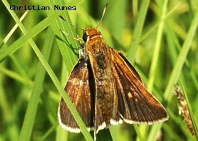 Two-Spotted Skipper<br />© Christian Nunes<br />Shearer Ditch<br />Boulder County