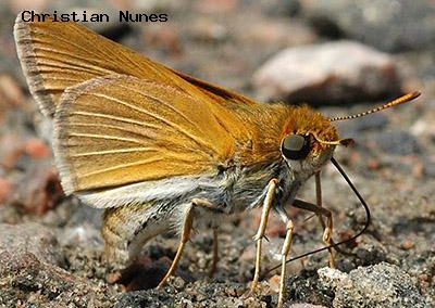 Two-Spotted Skipper<br />© Christian Nunes<br />Boulder Creek Trail<br />Boulder County