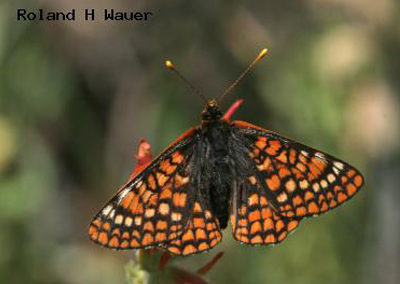 Variable Checkerspot<br />© Roland H. Wauer