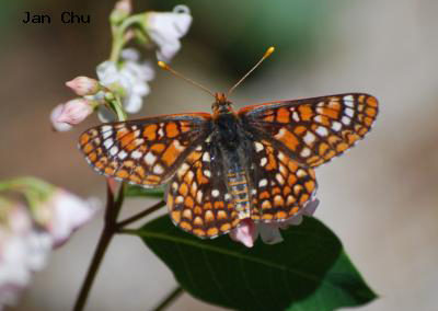 Variable Checkerspot<br />© Jan Chu<br />Boulder County
