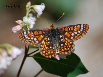 Variable Checkerspot<br /> © Jan Chu<br /> Boulder County