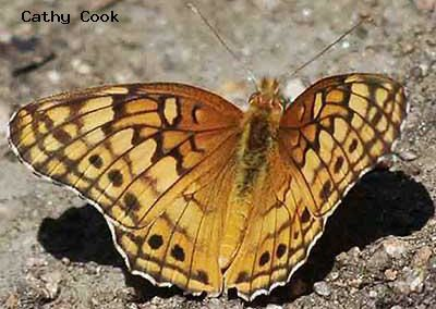 Variegated Fritillary<br />© Catherine Cook<br />Coulson Gulch<br />Boulder County