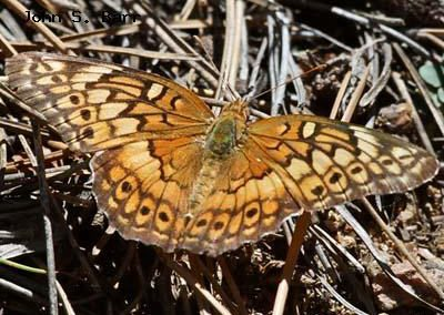 Variegated Fritillary<br />©John S. Barr<br />Bald Mountain<br />Boulder County