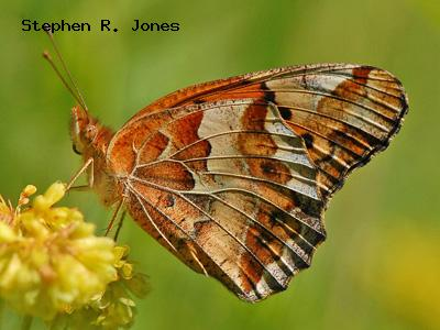 Variegated Fritillary<br /> © Stephen R. Jones<br /> Boulder County
