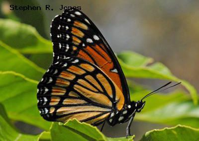 Viceroy<br />© Stephen R. Jones