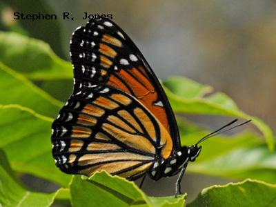 Viceroy<br /> © Stephen R. Jones