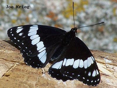 Weidemeyer's Admiral<br /> © Joe Krieg<br /> Anne U. White Trail<br /> Boulder County