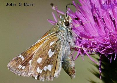 Western Branded Skipper<br />© John S. Barr<br />Rocky Mountain National Park<br />Larimer County