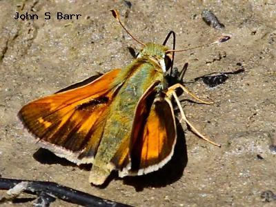 Western Branded Skipper<br />© John S. Barr<br />Doudy Draw<br />Boulder County