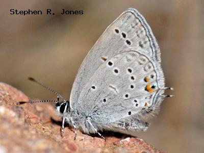 Western Tailed-Blue<br /> © Stephen R. Jones