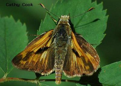 Woodland Skipper<br />© Catherine Cook<br />Boulder County