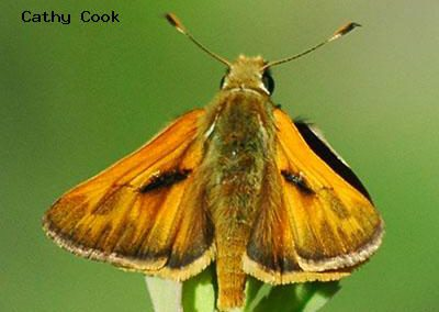 Woodland Skipper<br />© Catherine Cook<br />Anne U. White Trail<br />Boulder County